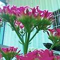 球型海棠的花