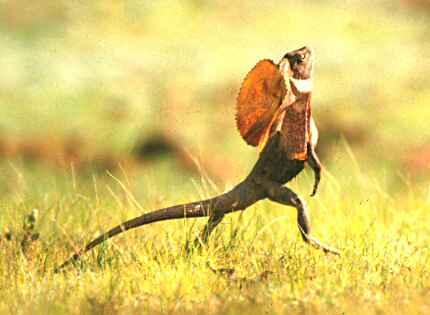chlamydosaurus3