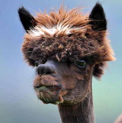 A-freshly-sheared-alpaca--019