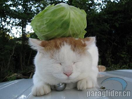 這是一隻生活在日本鄉下,紅遍島國的貓叔。貓叔的特長是—頂東西!