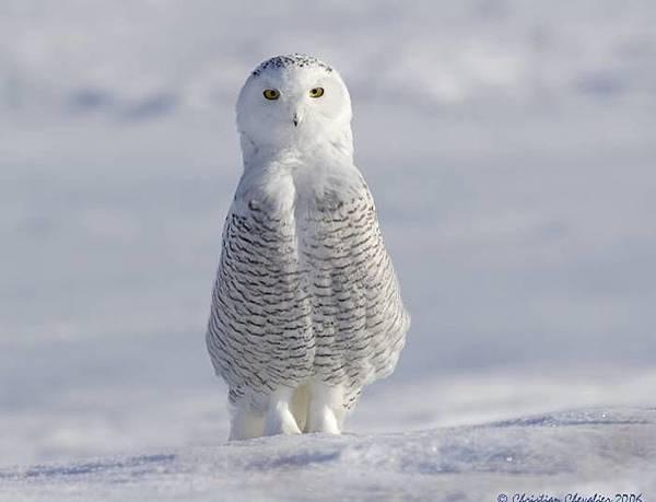 白色的貓頭鷹