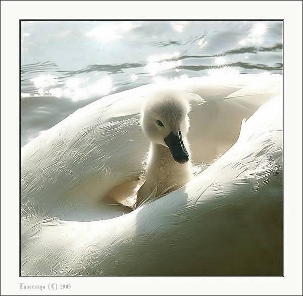 白色的鴨子