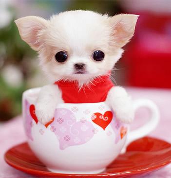 超可愛茶杯犬