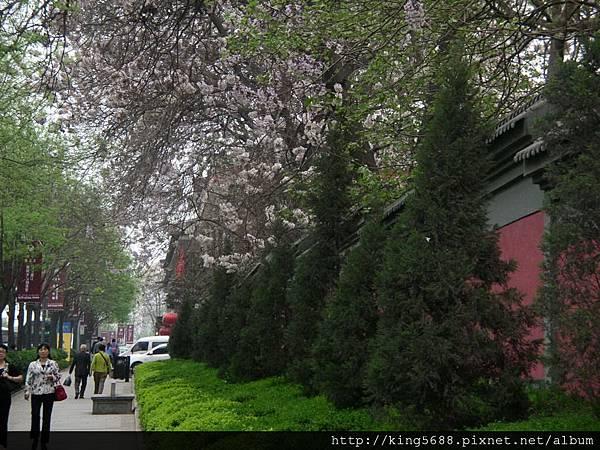 大雁塔附近的宮牆與梧桐花