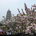 西安大雁塔 桃花與櫻花
