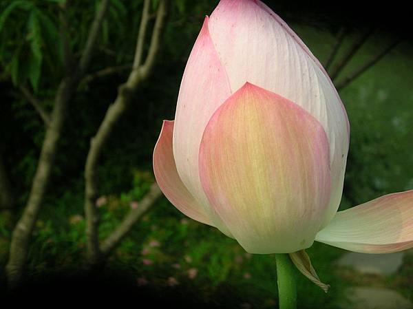 A 粉紅初含 苞191.jpg