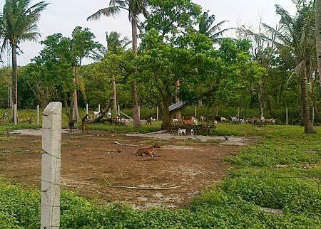 南沙中業島成了菲律賓人的牧場.jpg