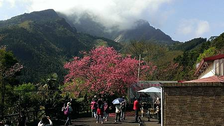 2013新竹五峰的櫻花.jpg
