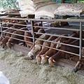 飛牛牧場中的「飛羊」.jpg