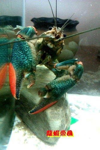 美麗的澳洲龍蝦