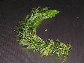 金魚藻.jpg