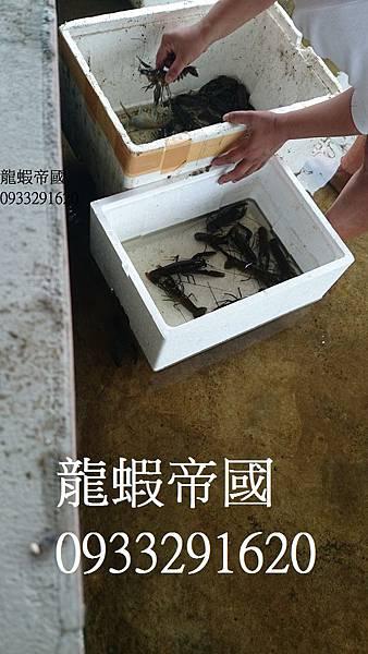 買澳洲淡水龍蝦苗