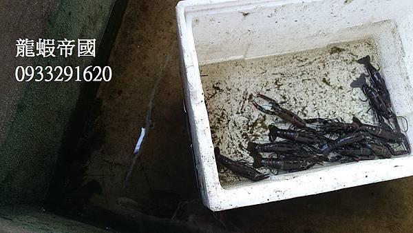 澳洲龍蝦價錢