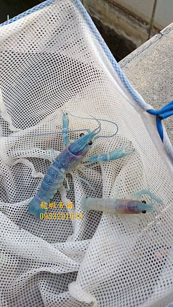 澳洲龍蝦5 龍蝦帝國 藍色澳洲龍蝦