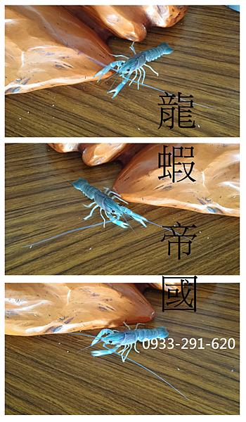 澳洲龍蝦 龍蝦帝國 藍澳洲龍蝦