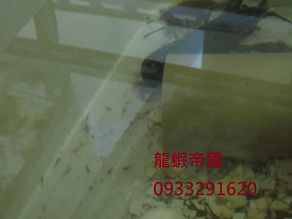 澳洲龍蝦蝦苗