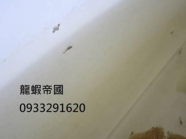 台灣澳洲龍蝦蝦苗