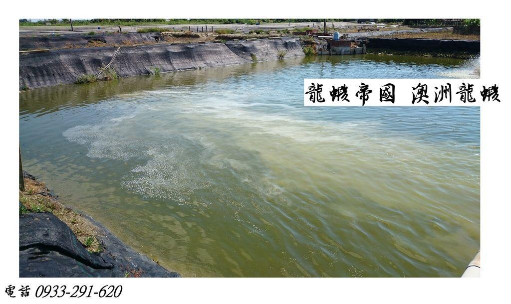 龍蝦帝國 澳洲龍蝦蝦苗.JPG
