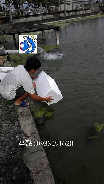澳洲淡水龍蝦 澳洲龍蝦繁殖場 龍蝦帝國.jpg
