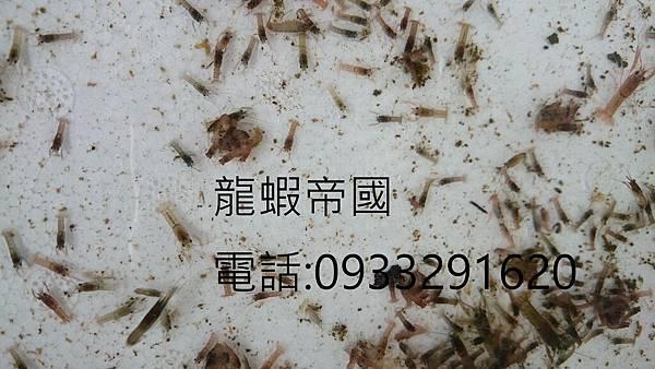 澳洲龍蝦繁殖場.JPG