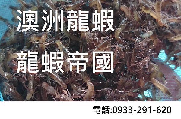 澳洲淡水龍蝦批發 澳洲淡水龍蝦養殖.JPG