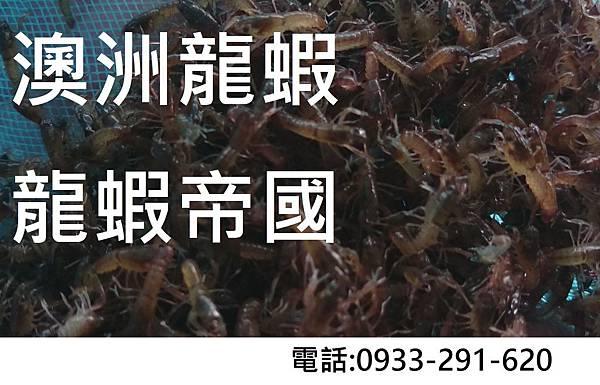 澳洲龍蝦.JPG