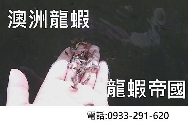 澳洲龍蝦抱卵 澳洲龍蝦 澳洲龍蝦苗.JPG