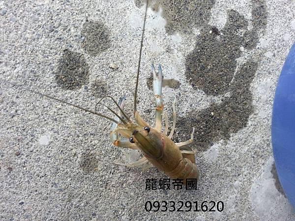 澳洲龍蝦工廠 澳洲龍蝦最低價 澳洲龍蝦價格.jpg