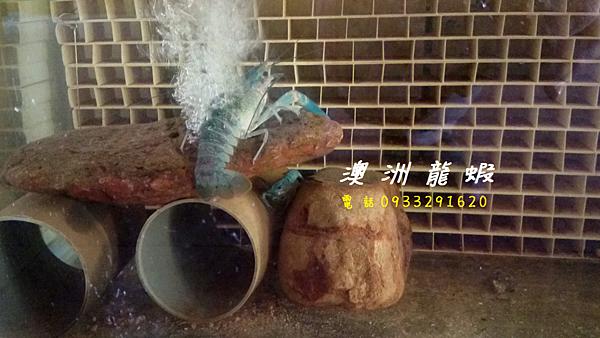 澳洲龍蝦 買澳洲龍蝦 澳洲龍蝦蝦苗 澳洲龍蝦養殖 台灣澳洲龍蝦養殖場