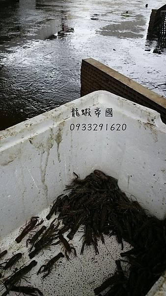 澳洲淡水小龍蝦養殖 澳洲龍蝦 龍蝦帝國