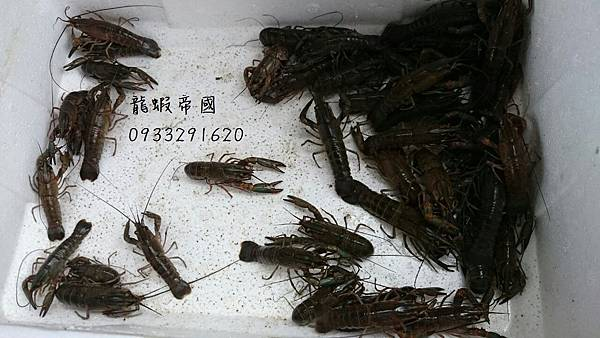 澳洲龍蝦57 澳洲龍蝦5-7cm 澳洲龍蝦-7公分 澳洲龍蝦養殖 澳洲龍蝦批發 澳洲龍蝦蝦苗