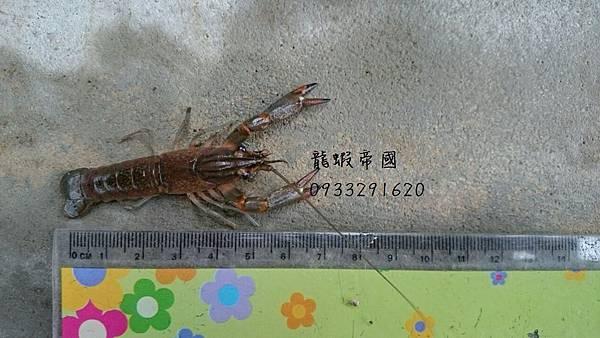 澳洲龍蝦公分 澳洲龍蝦養殖 台灣澳洲龍蝦 澳洲龍蝦買賣