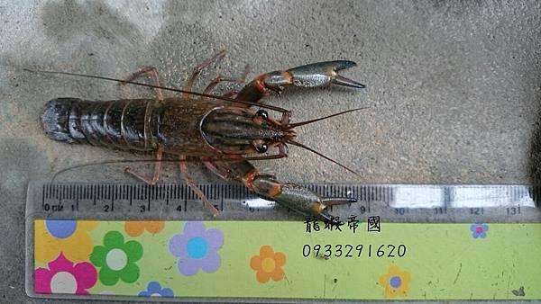 澳洲龍蝦批發 澳洲淡水小龍蝦 龍蝦帝國 0933291620