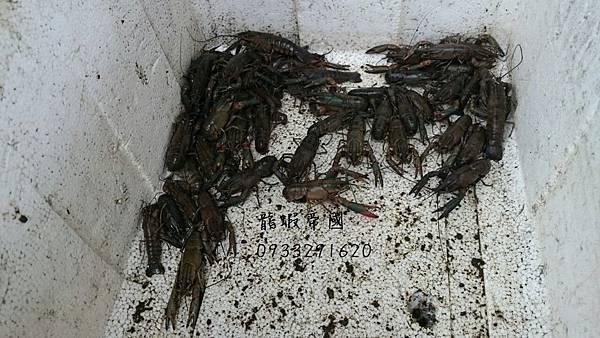 龍蝦帝國 0933291620 澳洲淡水龍蝦