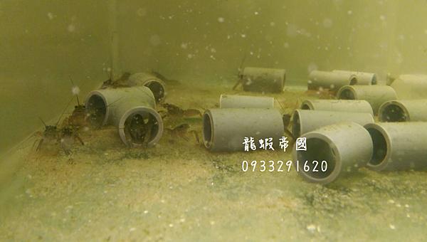 Buy Australian lobster,Taiwan Australian lobster