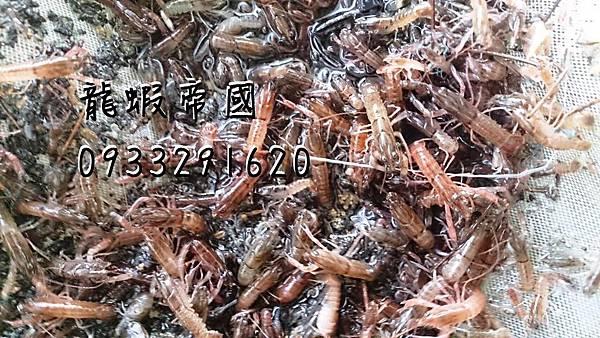 Australian Lobster Breeding Far
