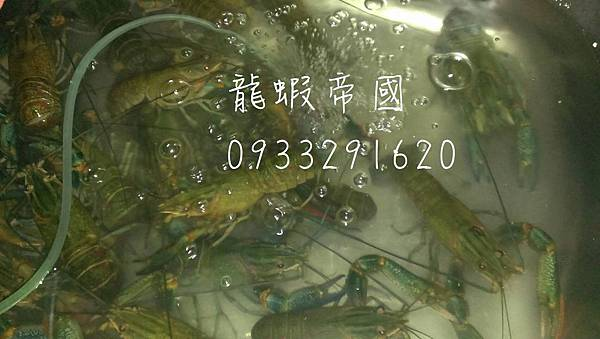 澳洲淡水小龍蝦.jpg
