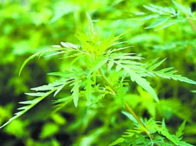 艾葉豚草。(網絡圖片)