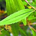 黃頂菊開花。(網絡圖片)