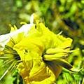 刺萼龍葵。(網絡圖片)