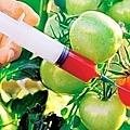 中國頒轉基因食品安全證引擔憂 專家:可毒害後代專家研究證實,轉基因作物中的抗蟲或抗草藥毒素,會在人體中殘留,孕婦甚至可傳給胎兒。(網絡圖片)