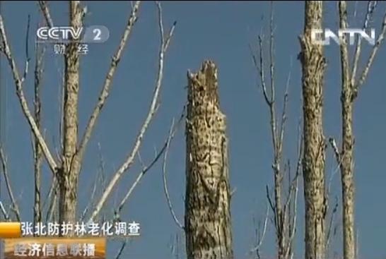 「造」林内幕多 為北京防沙的張北防護林大批死亡