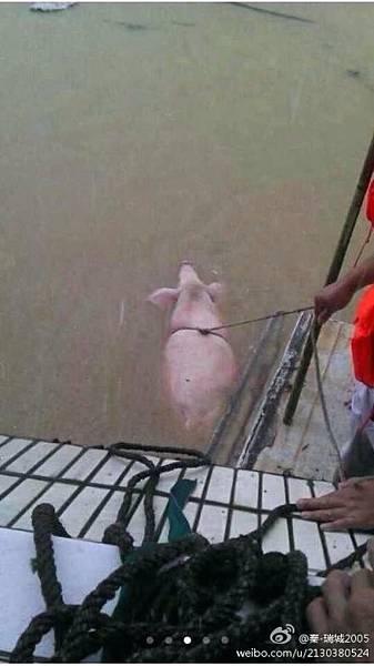 有網民說:現在釣魚太out了,釣猪才霸氣。(網絡圖片)
