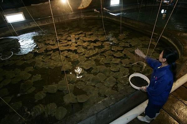 據調查魚隻養殖戶在飼料裡添加了抗生素及其他藥物。圖為山東省煙臺市,在中國東部的多寶魚養殖場。(Getty Images)
