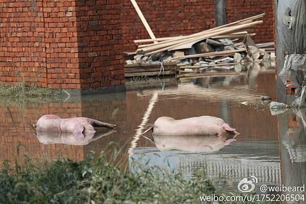 浙江省餘姚市於10月7日晚遭遇暴雨後,洪水困城7日不退。14日洪水漸退,但一些受災嚴重  地域仍然水深及腰,且洪水已經變質發臭,死豬開始腐爛發臭,令災民產生恐慌。(網絡圖  片)