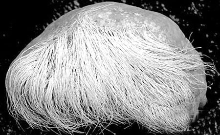 「白髮」石頭天價一千萬。(網絡圖片)