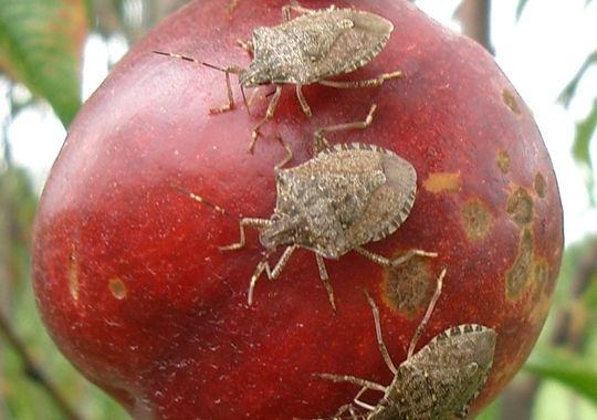 椿象在吃油桃(圖片:Ralph Scorza,美國農業部)