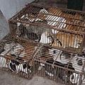 江蘇黑窩點貓肉當兔肉 查獲大量死貓,關入鐵籠中的活貓。
