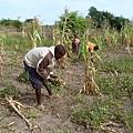 聯合國即將發表的一份報告指出,伴隨世界人口的繼續增長,氣候變化將對世界糧食產量和食物供應帶來巨大潛在威脅,可能導致世界糧食減產和食品價格暴漲。應對氣候變暖,幾乎找不到有效方法。(圖源:ALINE RANAIVOSON/AFP/Getty Images)