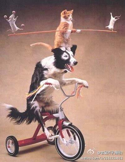 11月24日,大陸微博熱傳一張圖片,並註解圖片內容稱「黑狗開車,黃貓搞平衡,老鼠耍雜技」。圖片暗諷中共十八屆三中全會,被讚內涵圖、深刻!太形象!(網絡圖片)